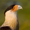 """Crested Caracara Portrait"""