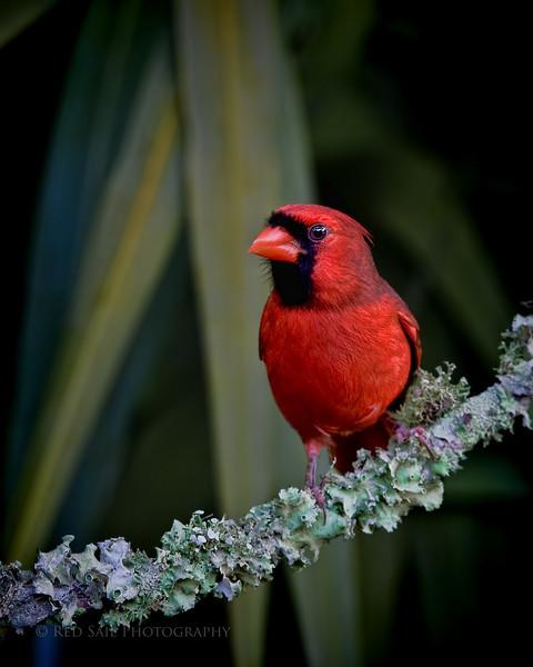 Northern Cardinal male..