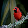 Northern Cardinal male..