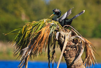 Anhinga Male on Nest