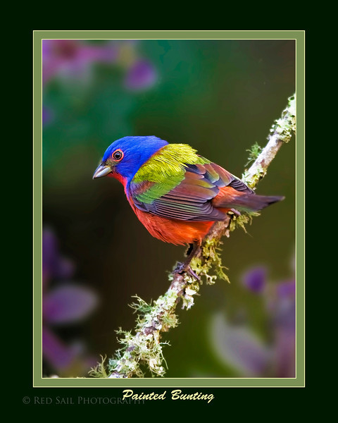 Painted Bunting male (Passerina ciris). Size is 16x20.