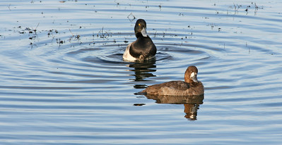 Greater Scaup and Female (possibly Lesser Scaup?)