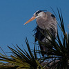 Great Blue Heron (Ardea herodias) Standing in its nest on top of a palm tree. Shot taken in Florida at Vera Wetlands.