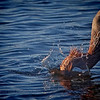 """Splash"" Breakfast for this Reddish Egret."