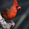 Northern Cardinal, male.