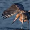 Reddish Egret..
