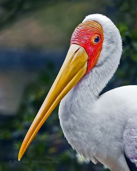 The Painted Stork (mycteria leucocephala) is found in the wetlands of tropical Asia south of the Himalayas. I took this image at the Jacksonville Zoo, Florida.