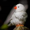 This white finch  image was taken at the University of Florida, Butterfly Museum. One of the beautiful birds of this inside tropical exhibit.