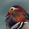 Mandarin Duck Portrait..