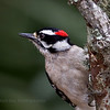 Hairy Woodpecker..