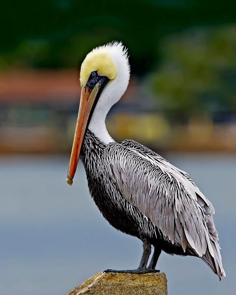 Mayport Pelican.