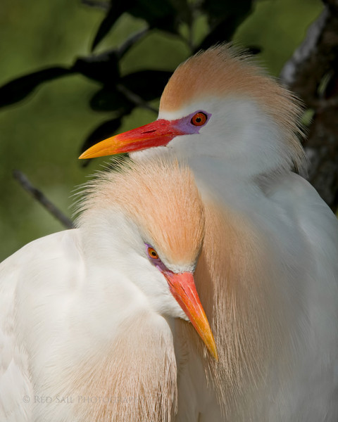 Cattle Egrets.