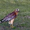 Red-shouldered Hawk..