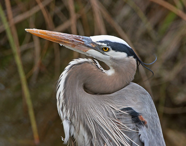 Great Blue Heron on Anhinga Trail