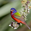 Painted Bunting male..