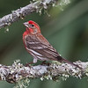 House Finch male..