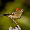 Ruby-crowned Kinglet.