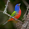 """Droplet on Beak""  Painted Bunting..."
