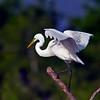 Great Egret (Ardea alba).