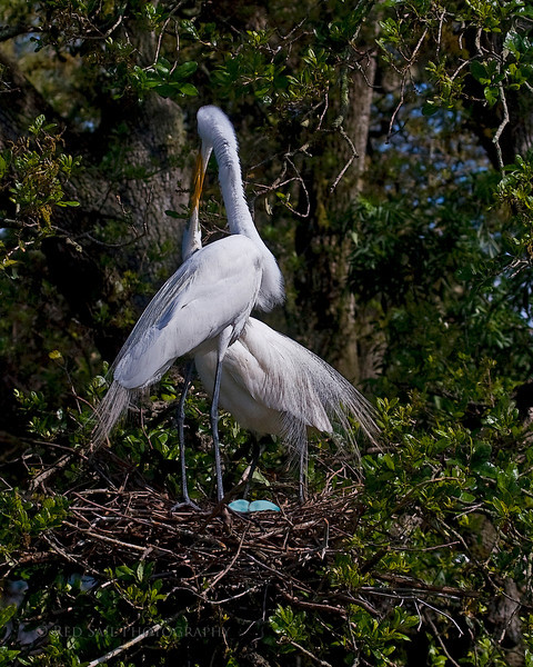 Family.. Great Egrets (Ardea alba) with eggs in nest.