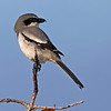 Northern Shrike (Lanius excubitor) adult. This bird is uncommon to rare according to Sibley's Field Guide and shouldn't even be in Florida. I shot this image at Vera West in east central Florida.
