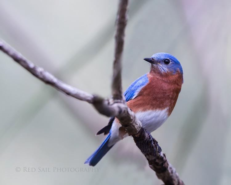 Eastern Bluebird male, Atlantic Beach