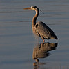 Great Blue Heron (Ardea herodias). Late afternoon image taken along the St. Johns River in Mayport.