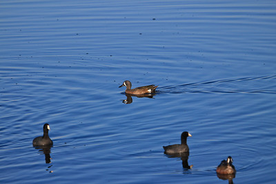 Blue Winged Teal and others