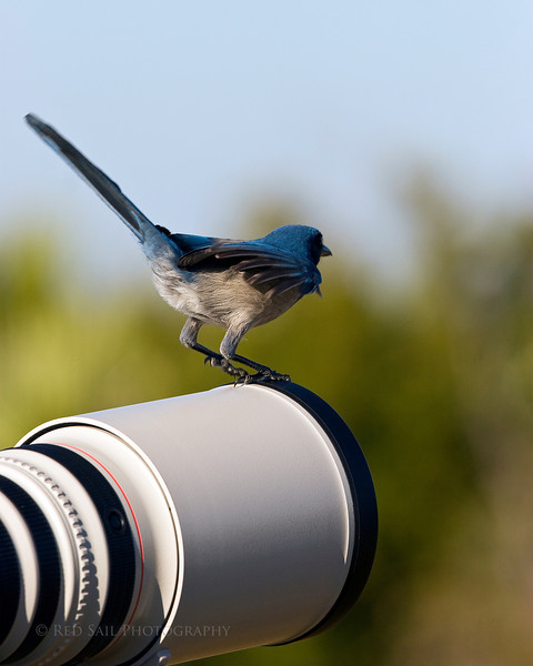 Florida Scrub Jay. We came equipped with our big lenses to capture this beautiful bird but as you can see, we didn't need them. At one point I had one on my shoulder and one on my camera lens. Images taken at the Merritt Island Wildlife Sanctuary.