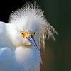 Snowy Egret Pose