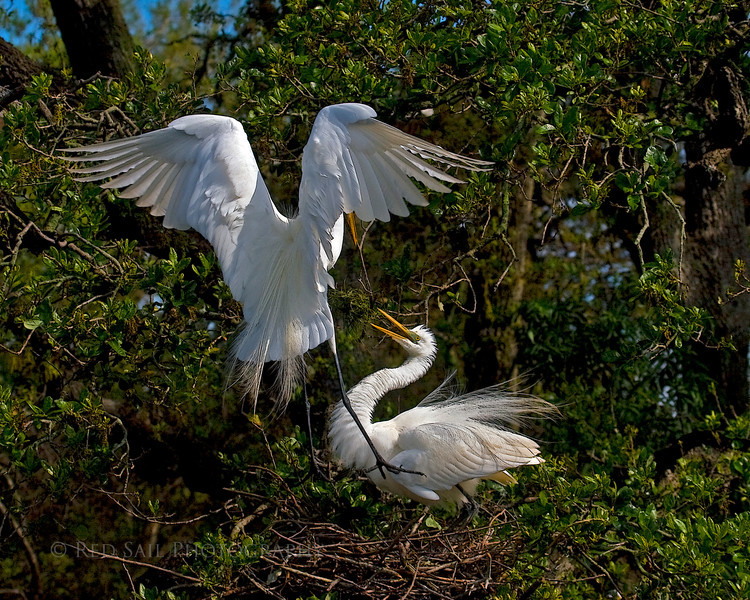 Angel Wings.. Great Egrets (Ardea alba) in nest.