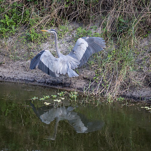 Blue Heron on Canal Bank