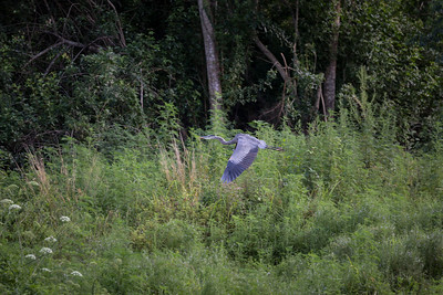 Blue Heron in Flight