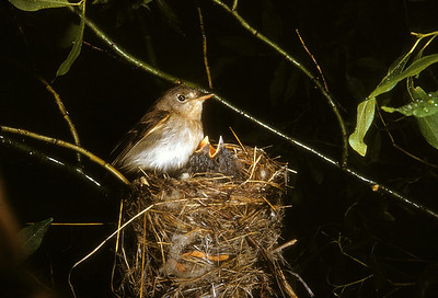 Willow Flycatcher (Empidonax traillii), Blacksmith Fork, Wasatch Mountains, Cache Co., Utah