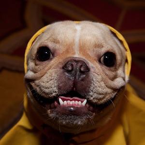 "French Bulldog 'Bogart"""