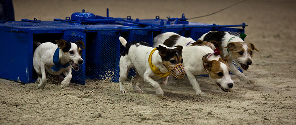 terrier races
