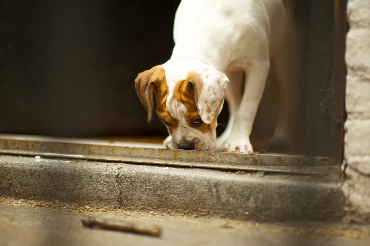 "Puggle/Olde Bulldog - ""Tallulah"""