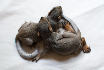 At nearly 5 weeks old, Linus and Lucy are almost ready to open their eyes.  Their coats are coming in nicely, and their feet are much bigger to help them become better climbers.  This was following a feeding.  Both squirrels are over 110 grams (almost 4 oz).