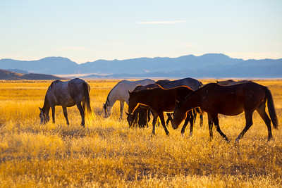 A day with the wild horses. Onaqui Mountain Herd.