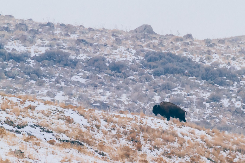 Bison on Buffalo Point