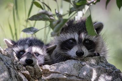Racoon kids