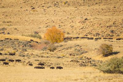 2017 Antelope Island Bison Roundup