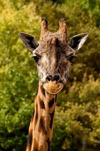 Giraffe - Hogle Zoo