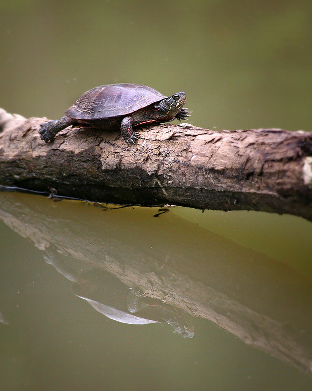 Canal turtle