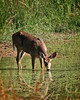 Deer taking a drink