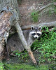 Racoon along the C&O Canal