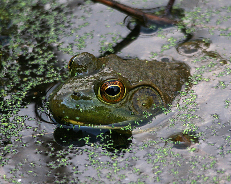 Frog along the canal