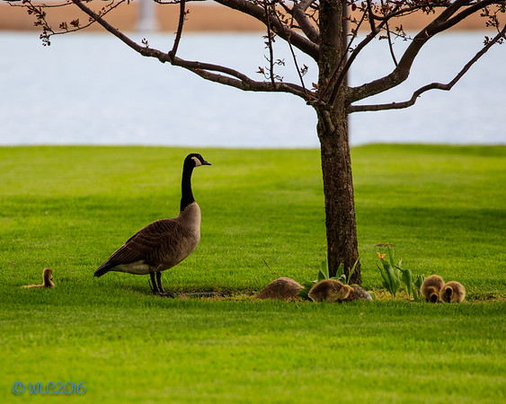 Fowl Day  on Harsens Island with green grass and a lot of water fowl