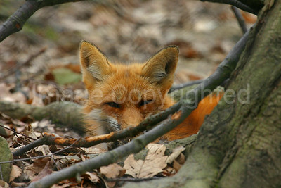 Fox resting in the Woods
