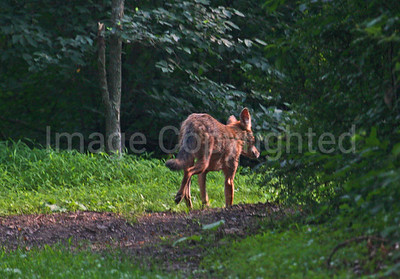 Coyote at Shenandoah - 7/21/11